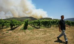 Wine grapes ripening up to two days earlier each year, as viticultural experts warn some traditional varieties may be abandoned in warmer areas