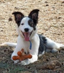 Patches, a baby Border Collie Mix