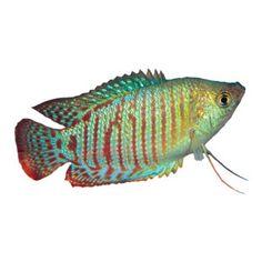 Dwarf Gourami | Live Fish | PetSmart