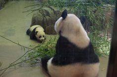 Mei Xiang and Bao Bao, Dec. 13, 2013 | Flickr - Photo Sharing!