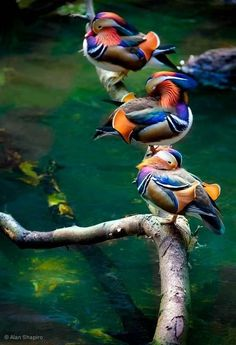 Just 3 ducks in a row / animaux / oiseau / canard mandarin Pretty Birds, Love Birds, Beautiful Birds, Animals Beautiful, Birds 2, Amazing Animals, Flying Birds, Three Birds, Angry Birds