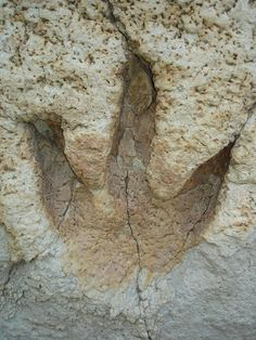 150 million year old theropod dinosaur footprint in Texas.