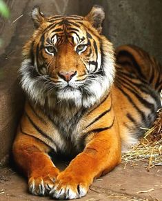 Here are some great pictures of Fabulous Tiger Photography. Tiger live in grasslands where it makes easier for them to hunt various animals for their food. Cute Baby Animals, Animals And Pets, Funny Animals, Beautiful Cats, Animals Beautiful, Tiger Fotografie, Big Cats, Cats And Kittens, Tiger Pictures