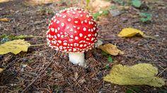 Mushroom fly agaric. by Wonderful World on @creativemarket