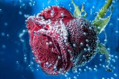 The breath of the rose Photo by Paulo Batista -- National Geographic Your Shot
