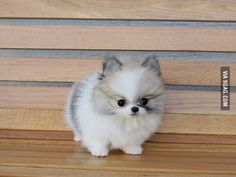 Teacup pomeranian husky mix- want! Teacup pomeranian husky mix- want! Cute Baby Animals, Animals And Pets, Funny Animals, Cute Puppies, Cute Dogs, Dogs And Puppies, Doggies, Fluffy Puppies, Puggle Puppies