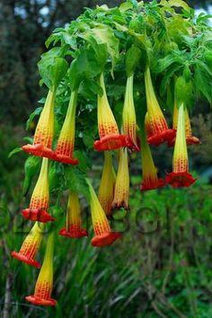 Angel's Trumpet - Brugmansia sanguinea