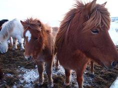 Go riding on the cutest horses in the world. 15 Incredible Things to Do in Iceland