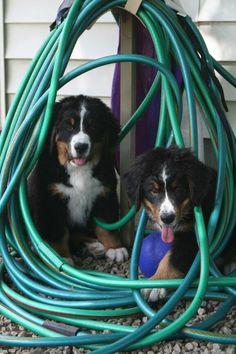 Berner pups