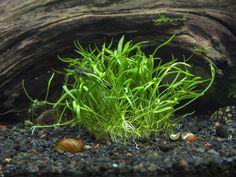 All Aquatic Plants : Micro Sword Pot (Lilaeopsis novae-zelandiae) - 2 to 3 inches Tall Live Aquarium Plants, Planted Aquarium, Live Plants, Aquarium Fish, Nature Aquarium, Aquarium Ideas, Freshwater Plants, Freshwater Aquarium, Aquatic Arts