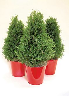 A gift of evergreen rosemary is a sure bet to provide years of gardening enjoyment. Repot in a roomy container and give it plenty of sun. It can handle outside temperatures down to 20 degrees. Learn more about caring for rosemary and other popular gift plants at The Home Depot's Garden Club.