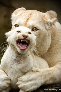 Karin Vogt, African white lions
