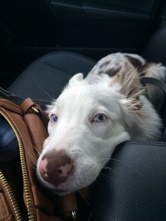 Red merle border collie puppy with blue eyes