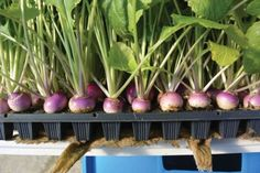 The Homestead Survival | Greenhouse Hydroponics: Growing Root Crops In Plug Trays With The Ebb And Flood Method | http://thehomesteadsurvival.com