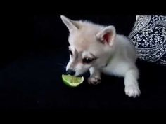 klee kai and a lime!!