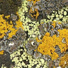 - Liquen: organismo, que surge, entre una especie de hongo y alga respectivamente / via Lynette Schimming -