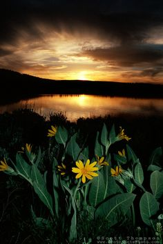 """Mule Ears at Boca Reservoir""- These Mule Ears flowers and sunset were photographed at Boca Reservoir, CA. Shot from the east side, near Boca Dam, looking west."