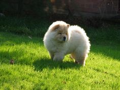 Polo the Chow 16 | Flickr - Photo Sharing!