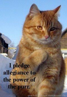 pledge allegiance to the purr #cats #purr www.catboxzen.com