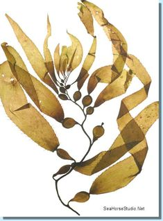 The Effective Pictures We Offer You About Sealife Plant Illustration, Botanical Illustration, Medusa, Kelp Forest, Sea Plants, Sea Life Art, Abstract Nature, Coral, Pisces