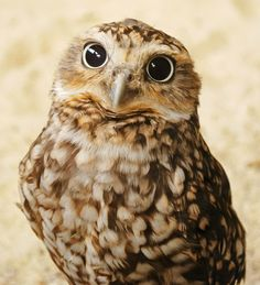 Burrowing owl stare