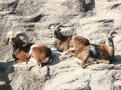 天王寺動物園にムフロン来園-名前は「ツウ」「テン」「カク」 Osaka, Kangaroo, Animals, Baby Bjorn, Animales, Animaux, Animal, Animais