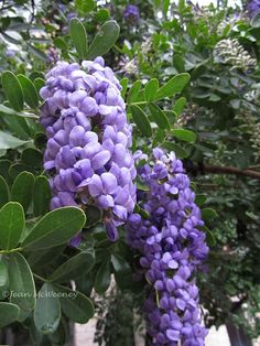Mountain Laurel - Beautiful tree flowers that smell like grape soda.discovered them at the Fort Worth Botanical Gardens the other day! Plants, Natural Garden, Botanical Gardens, Mountain Laurel, Growing Grapes, Evergreen, Seeds, Flowers, Laurel