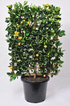 Espalier a fruit tree in a pot