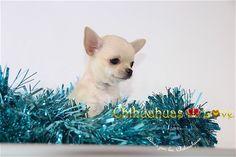 Chihuahuas Love - Nuevas Fotos Hembra Chihuahua Divine. Hembra Chihuahua Disponible.