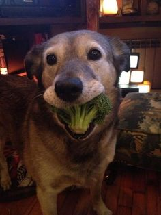 Are you smiling yet? This good dog is because broccoli is delicious! | 27 Dogs Who Are Guaranteed To Make You Smile