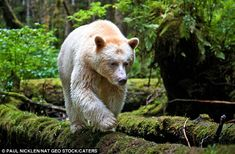 Have you ever seen a black bear that was actually white? Known as the spirit bear or the Kermode bear, this revered and rare creature is found almost exclusively in the a moss-draped rainforest in. Beautiful Creatures, Animals Beautiful, Beautiful Images, American Black Bear, Black Beast, Spirit Bear, Rare Animals, Extinct Animals, Wild Animals