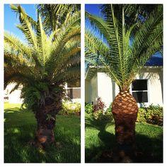 Palmeira das Canárias após receber poda ornamental do tipo abacaxi, que é muito apreciada na Europa e EUA.