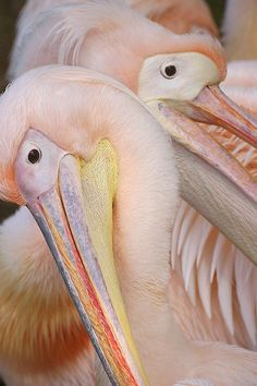 Nature knows how to do soft and romantic-great soft pink flamingos.those are not flamingos. They're pelicans. Pretty Birds, Love Birds, Beautiful Birds, Animals Beautiful, Cute Animals, Wild Animals, Mundo Animal, Exotic Birds, Tropical Birds