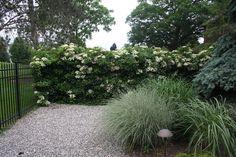 Hydrangea+anomala+subsp.+'Petiolaris'