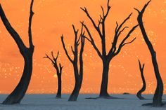 Early morning, dead Camelthorn trees. This is the Nambi desert in Namibia, Africa. aka ghost trees at dawn, Sossuvlei