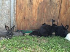 Cali's kits from her first litter hanging out in the grassy run. The kit on the right is a Gold tipped Steel while the others are solid black