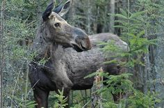 "New Hampshire's ""Moose Alley"" is on the short list for dependable roadside Moose-spotting. Dawn and dusk are optimal times to make the slow drive on forested Route 3"