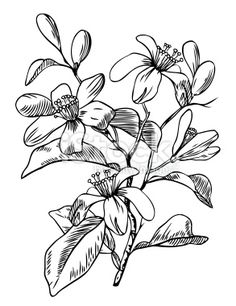 orange blossom drawing ink -cherry - Google Search