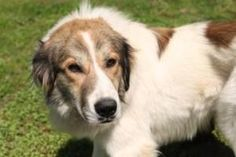 Dante *Foster* is an adoptable Great Pyrenees Dog in Ashland, VA. Dante is a handsome male Great Pyrenees/Collie mix. He was born in March 2012 and is now full grown at a nice medium size of 62 pounds...
