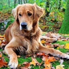 Adorable -Golden Retriever