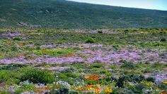The Namaqualand region of the Northern Cape is bordered in the North by the Orange River and Namibia border and in the West by the rugged coastline of the Atlantic Ocean. South Afrika, Daisy Field, Spring Flowering Bulbs, Types Of Plants, West Coast, Wild Flowers, Fields, Nature, Places To Go