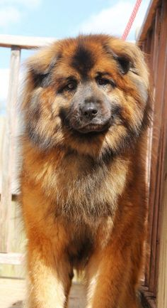 Chow husky dog mix - they call them Chusky. This dog has that liony look Cute Cats And Dogs, Big Dogs, Animals And Pets, Pitbull Mix Puppies, Dogs And Puppies, Husky Dog, Cute Dogs Breeds, Dog Breeds, Beautiful Dogs