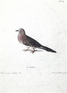 FLORENCE, Hercule - Gr. Naturelle - 1828 - Aquarela - 28,8 x 21,8 cm - Coleção Arquivo da Academia de Ciências (São Petersburgo)