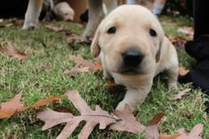 These Labrador Pups are Guaranteed a Happy Ending – Its a Lab Thing | Dog | Puppy | Labrador Retriever | Pet Photography | Dogs | Puppies