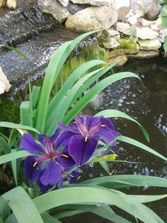 Water iris in our Koi pond