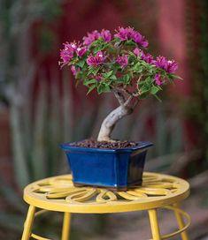 Cultivate a Bougainvillea Bonsai - Phoenix Home & Garden Bougainvillea Bonsai, Bonsai Plants, Acer Palmatum, Plant Design, Garden Design, Pine Bonsai, Bonsai Tree Types, Plantas Bonsai, Bonsai Seeds