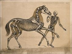Skeleton of a man, with the skeleton of a horse, in action. Lithograph by B. Skeleton Drawings, Horse Drawings, Animal Drawings, Art Drawings, Horse Anatomy, Animal Anatomy, Animal Skeletons, Horse Illustration, Human Figure Drawing