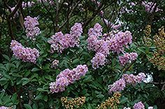 Click to view full-size photo of Yuma Crapemyrtle (Lagerstroemia 'Yuma') at Hicks Nurseries
