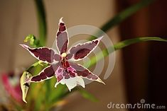 Blooming dark orchid Oncidium Orchid
