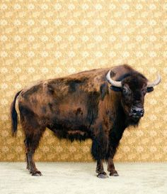 or a giant buffalo painting. either one really.